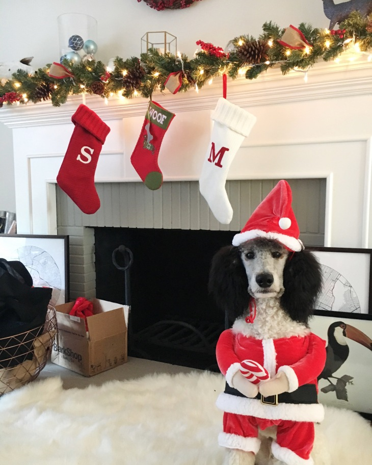 NomNomNow Customer Spotlight: Uzi the Parti Poodle in his santa suit l NomNomNow Blog