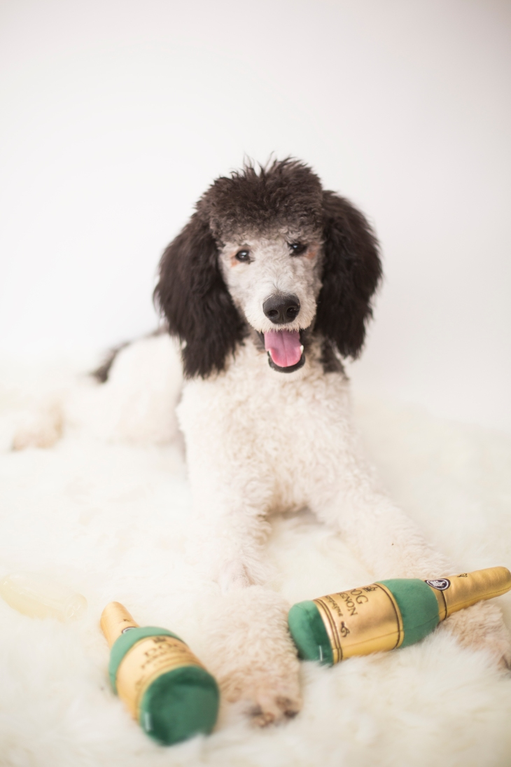 NomNomNow Customer Spotlight: Uzi the Parti Poodle l NomNomNow Blog