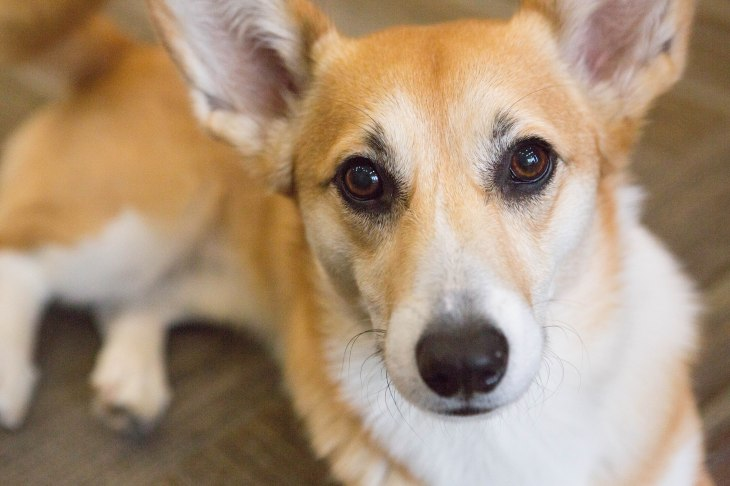 Rory the Pembroke Welsh Corgi l NomNomNow Blog Customer Spotlight