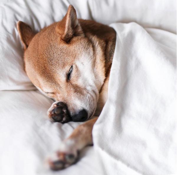 Cuddling shiba inu puppy l @mensweardog l NomNomNow blog