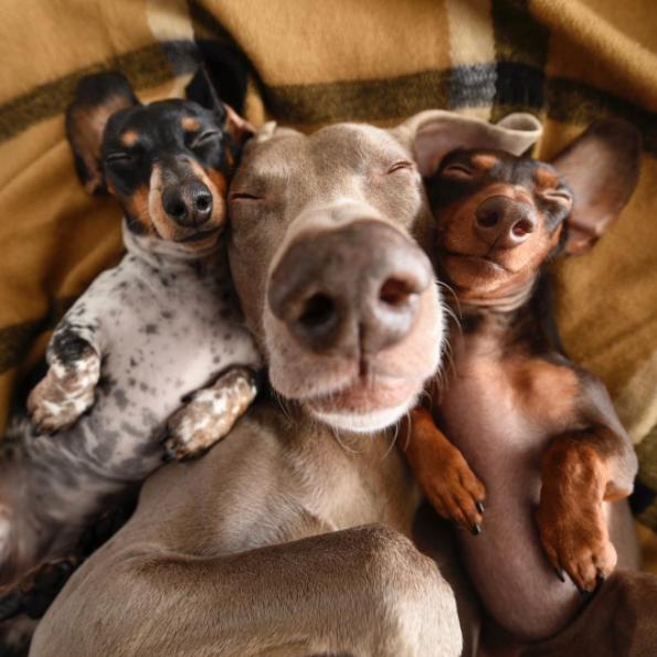Cute puppies dachshund l @harlowandsage l NomNomNow