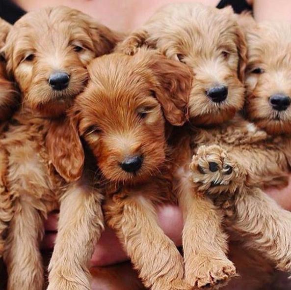 Cute goldendoodle puppies l @lonestargoldendoodles l NomNomNow Blog