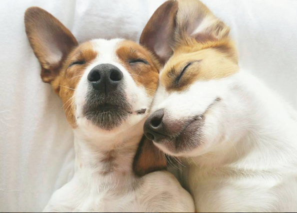 Cuddling Jack Russell puppies l @jackrussellmoments l NomNomNow blog
