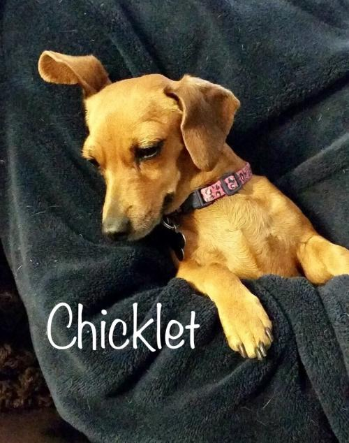 Chicklet Chickadee Dachshund Rescue of Los Angeles l NomNomNow Blog