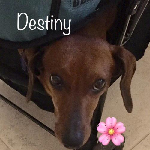 Destiny Dachshund Rescue of Los Angeles l NomNomNow Blog