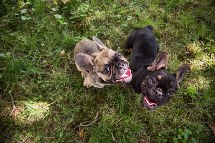 dog safety tips, french bulldog puppies l NomNomNow Blog