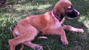 Afghan Hound Rescue: Jodi l NomNomNow Blog