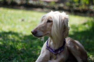 Afghan Hound Rescue: Lelaina l NomNomNow Blog